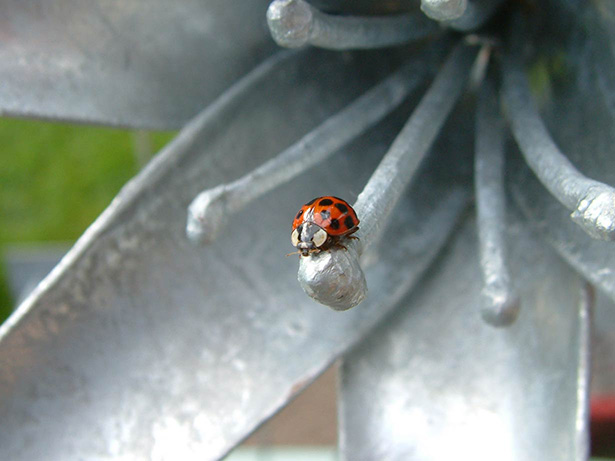 ladybird-on-lily